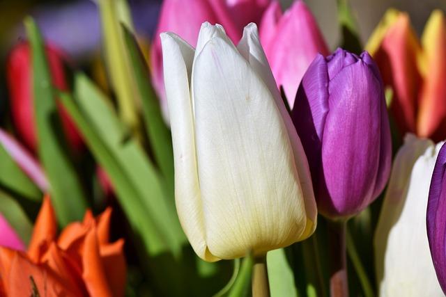 Tulip, Blossom, Bloom, Tulip Bouquet, Spring Flowers