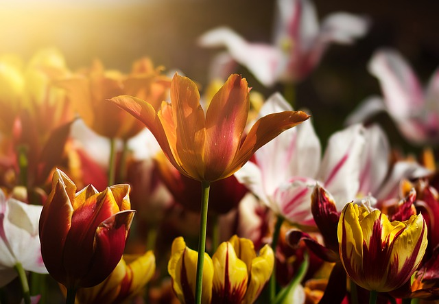 Tulips, Flowers, Flower Bed, Spring, Nature, Plant