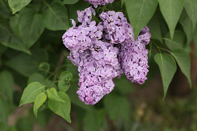 Flowers, Lilac, Spring, Lilac Flowers, Bloom