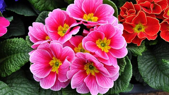 Primrose, Spring Flowers, Motley, Primula