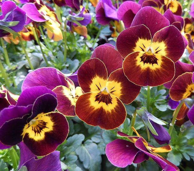 Pansy, Balcony, Nursery, Spring Flowers, Red