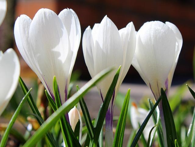 Krokus, Spring Flowers, White, Nature, Flower, Plant