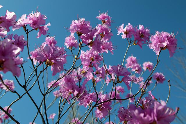 Azalea, Spring, Flowers, Nature, Plants, Flowering