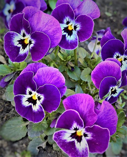 Pansy, 400–500, Spring Flowers, Violet