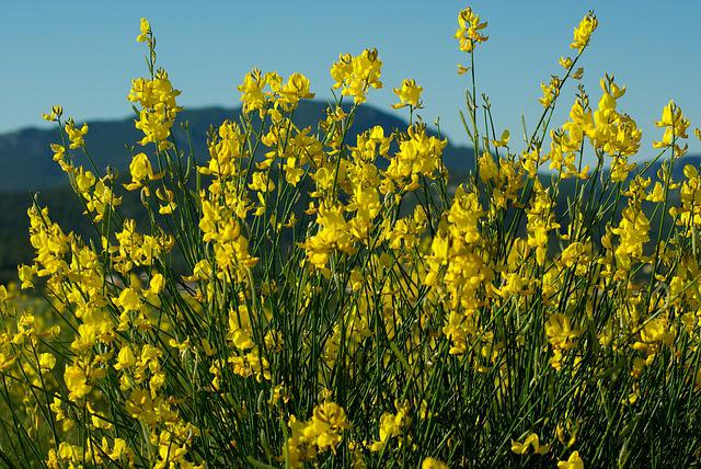 Canola, Flowers, Gorse, Scrubland, Yellow Field, Spring