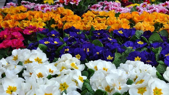 Primula, Spring, Spring Flower, Freak