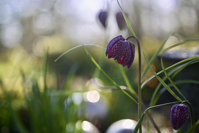 Chequered, Fritillaria, Fritillaria Meleagris, Spring