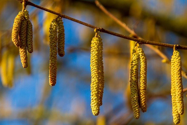 Hazel, Nature, Bush, Spring, Sausage, Frühlingsanfang