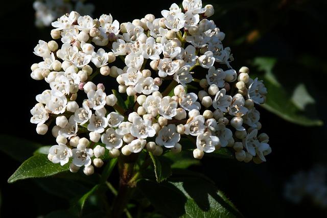Viburnum, White, Garden, Spring, Bush, Botany