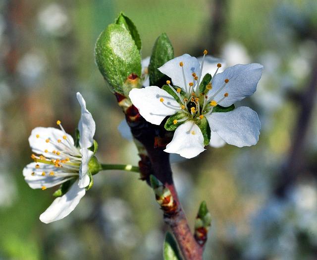 Plum Blossom, Flower, Spring, Garden, White Flower