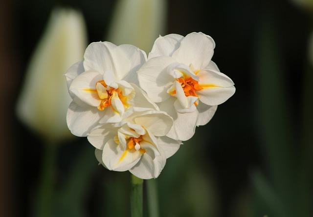Narcissus Sir Winston Churchill, Narcis, Spring, Garden