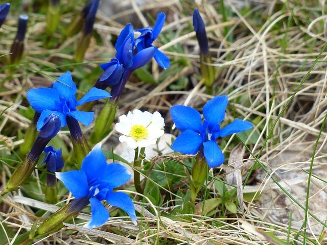 Dryas Octopetala, Blossom, Bloom, White, Spring Gentian