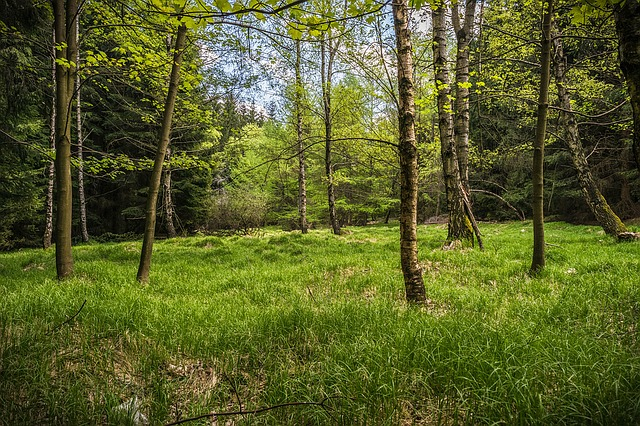 Meadow, Glade, Forest, Spring, Hiking, Nature, Birch