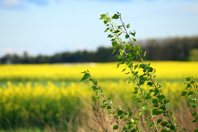 Spring, Field, Blooming Rapeseed, Landscape, Green
