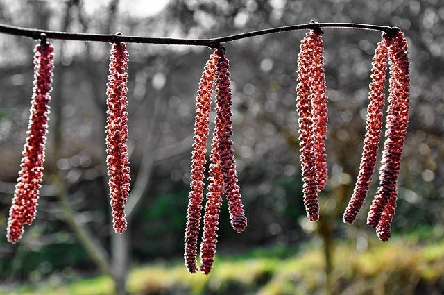 Spring, Hazel, Nature