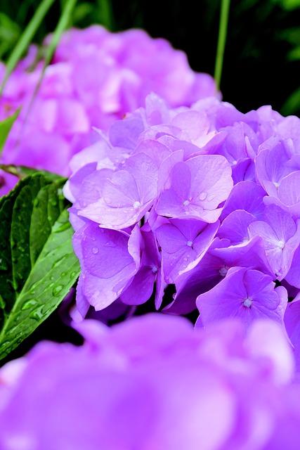 Flower, Bloem, Hydrangea, Hortensia, Spring, Lente