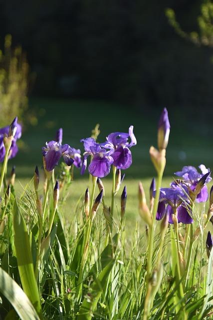 Flower, Violet Colour, Spring, Iris