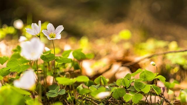 Spring, Beautiful, Farbenpracht, Klee, Forest, Bokeh