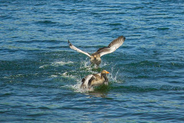 Wild Goose, Lake, Spring, Nature