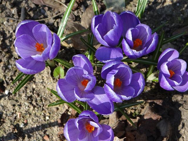 Crocus, Spring, Nature, Flower, Lorraine, Leaf, Violet