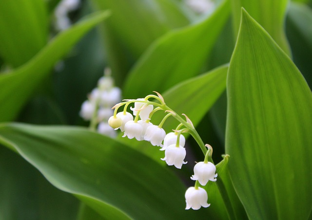 Konwalie, Spring Flowers, Spring, Lily Of The Valley