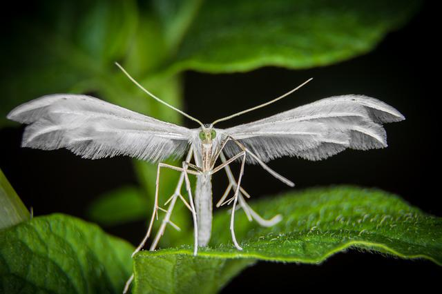 Insect, Motte, Macro, Moth, Spring Little Figure, Wing