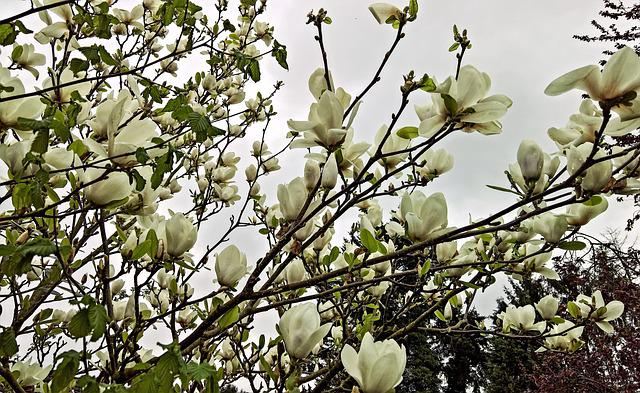 Magnolia, Magnolia Tree, Spring, Many White Flowers
