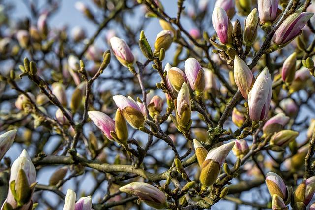 Magnolia, Magnolia Tree, Spring, Bud, Magnolia Flowers