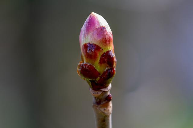 Flower Bud, Maple, Nature, Branch, Spring, Bud