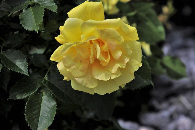 Rose Flower, Rose Garden, May, Spring, Yellow Flower