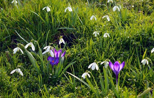 Spring, Meadow, Flowers, Crocus, Flower Meadow