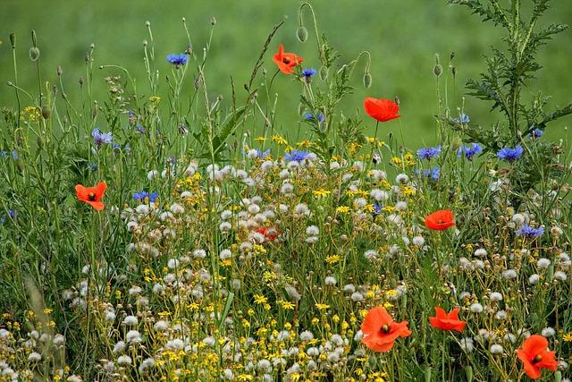 Spring Meadow, Poppies, Cornflowers, Flower Meadow