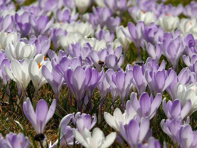 Spring Meadow, Crocus, Spring Flower, Frühlingsblüher