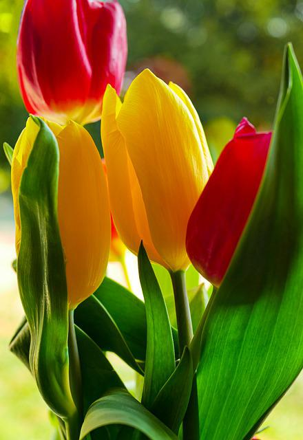 Tulip, Mother's Day, Flowers, Spring