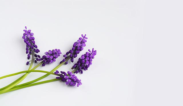 Grape-hyacinth, Purple, Spring, Hyacinth, Muscari