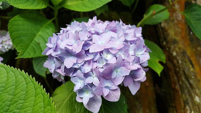 Hydrangea, Lavender, Spring, Natural