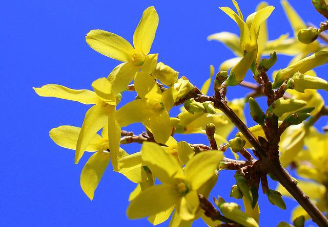 Forsycje, Bush, Nature, Spring, April, Yellow Flowers