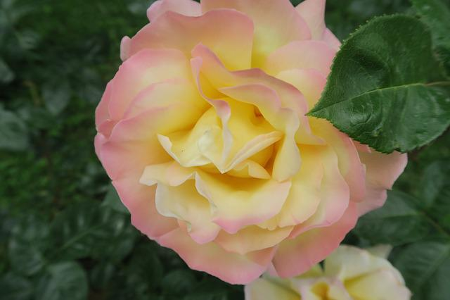 Rose, Spring, Nature, Flower, Plant, Garden