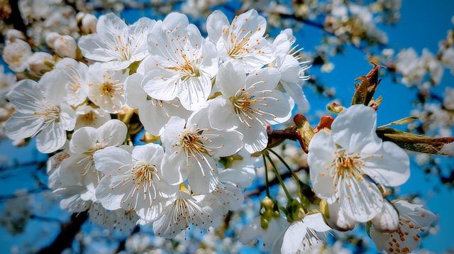 Spring, Cherry, Tree, Flowering, Nature, Garden