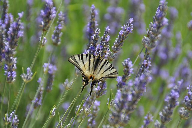 Butterfly, Vanessa, Lavender, Nature, Spring, Flower