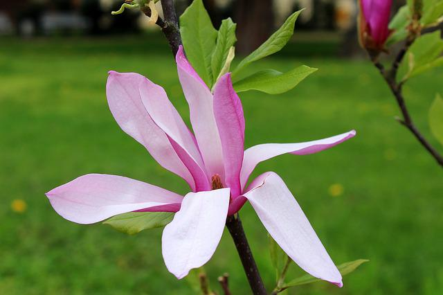 Magnolia, Flower, Full Bloom, Spring, Nature
