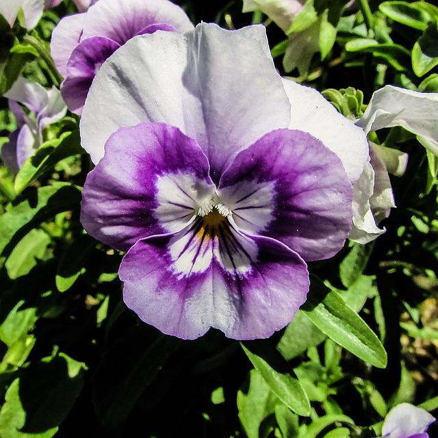 Pansy, Flower, Garden, Plant, Nature, Spring, Bloom