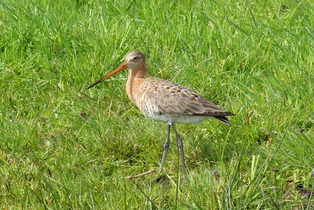 Black-tailed Godwit, Meadow Bird, Spring, Pasture