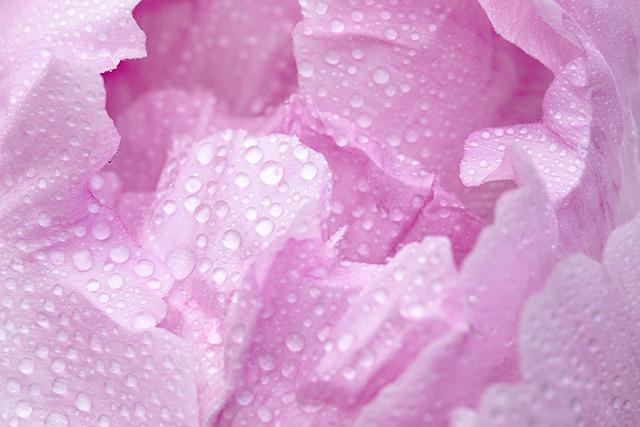 Pink, Peony, Spring, Macro, Blossom, Bloom, Droplets