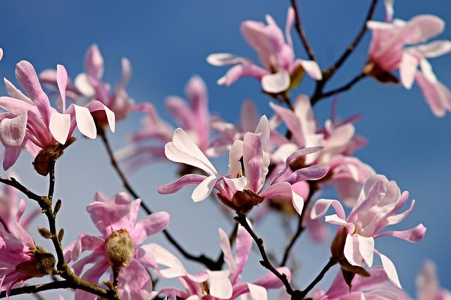 Magnolia, Flowers, Bloom, Bush, Pink, Spring, Nature