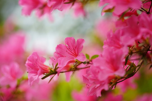 Rhododendron, Pink, Bush, Garden, Spring, Blossom