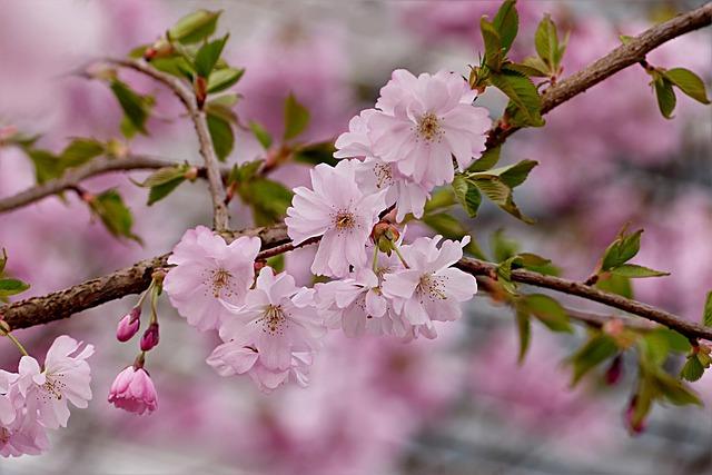 Japanese Cherry, Pink, Tree, Prunus Serrulata, Spring