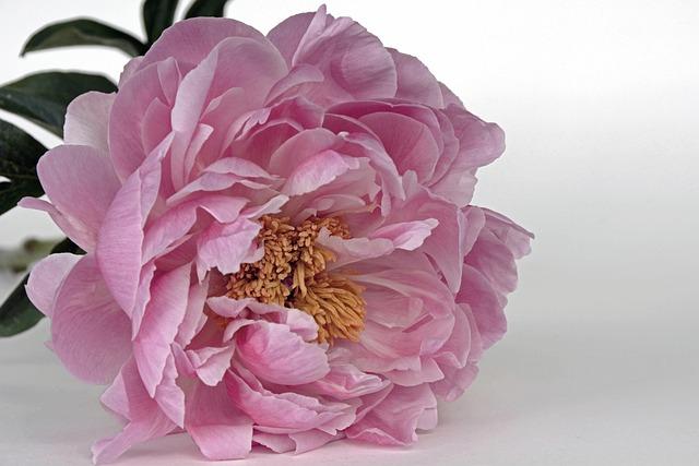 Peony, Blossom, Bloom, Pink, White, Spring, Flower