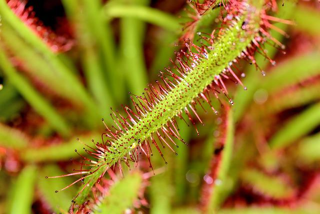 Drosera, Flowers, Nature, Plant, Spring, Plants, Beauty