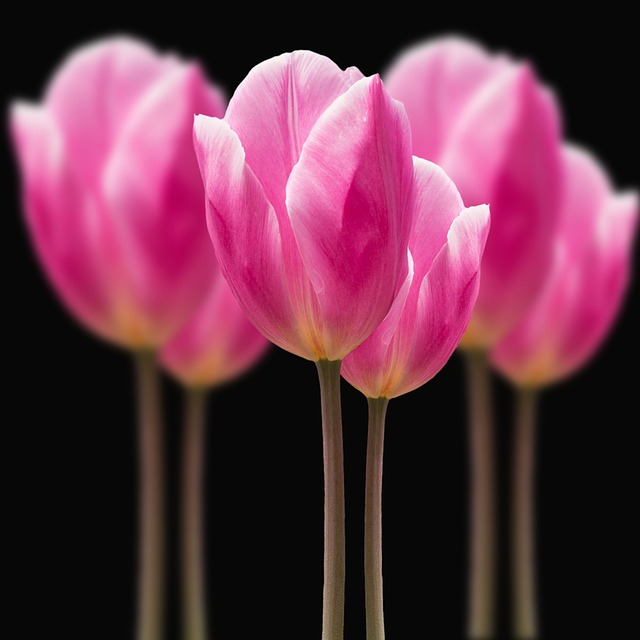 Flowers, Tulips, Pink, Spring, Plant